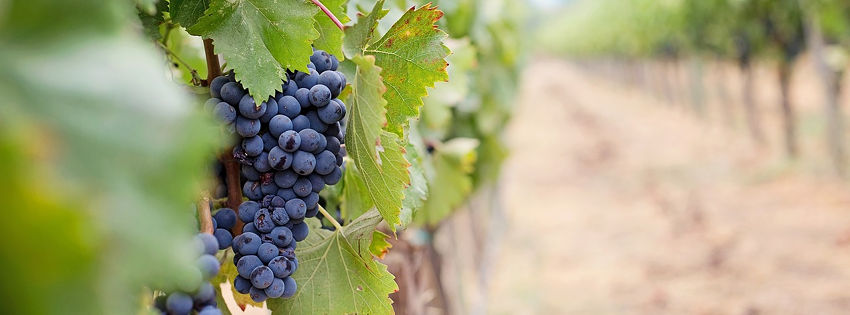 Culture de la vigne